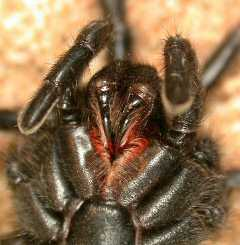 Black Wishbone Spider -GNU- Copyright Free
