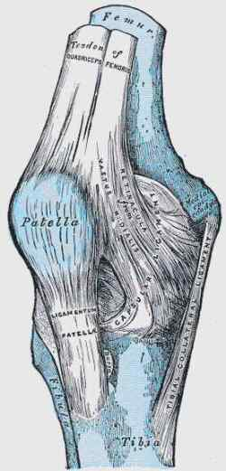 The Knee from Gray's Anatomy